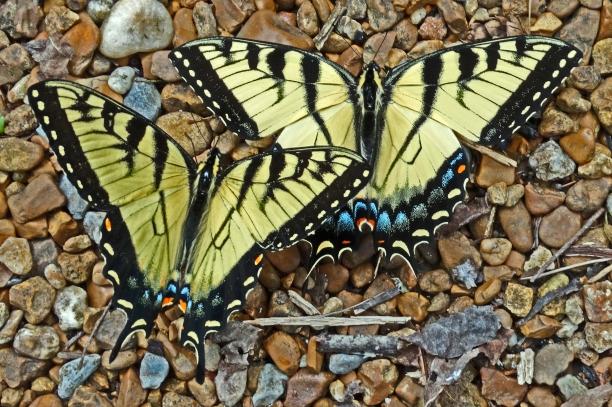 Tiger Swallowtail pair