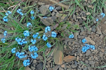 Forget-Me_Not  Alaska State Flower.jpg