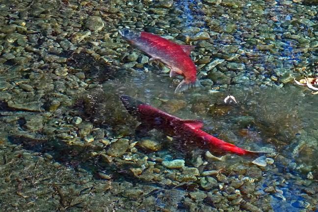 Female salmon making redd (nest)