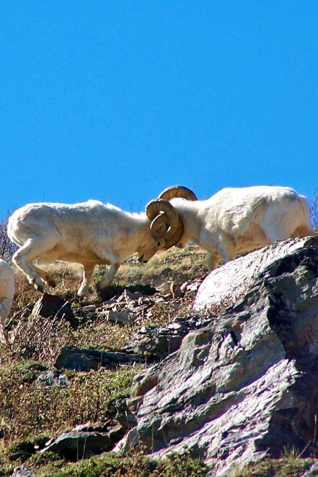 battling denali dall sheep rams